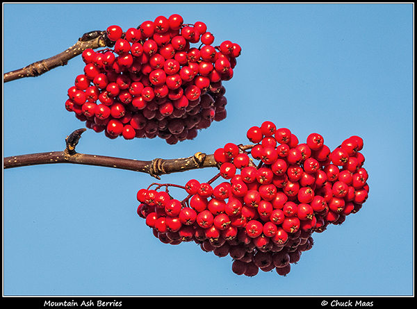 Clusters of mountain ash berries in anchorage, Alaska.
