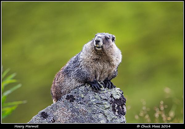 Hoary Marmot on granite boulder near Hatcher Pass, Alaska in August.