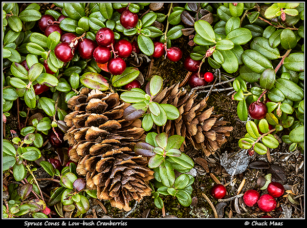Sitka Spruce cones among Low-bush Cranberries.