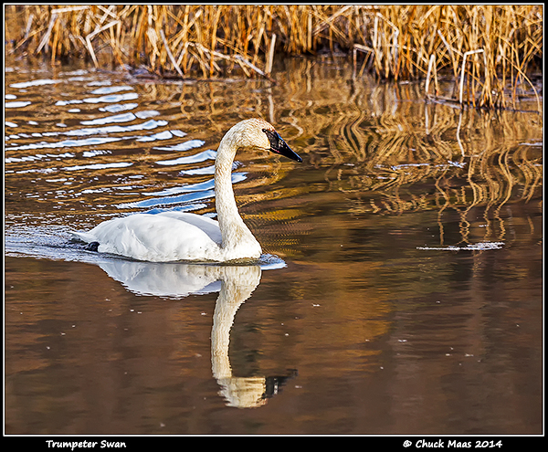 Trumpeter Swan at Potter Marsh, Anchorage, Alaska.