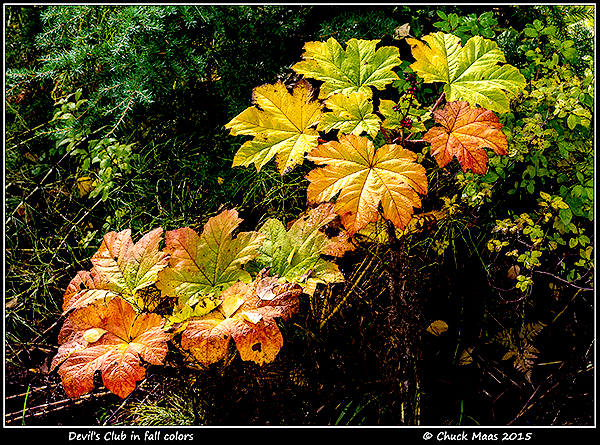Alaska.  Devil's Club (Oplopanax horridus) in autumn hues of yellow and orange along Turnagain Arm in mid-September.