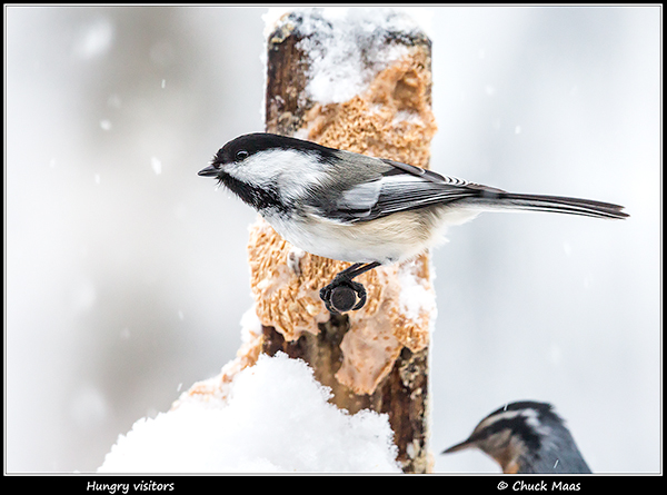Black-capped chickdee and red-breasted nuthatch at peanut butter feeder in Anchorage, Alaska in January.